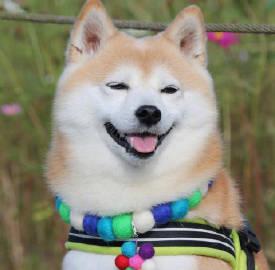 感受一波来自可爱柴犬Sora的明媚笑颜😄ins:soramama77