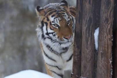 雪中白额虎